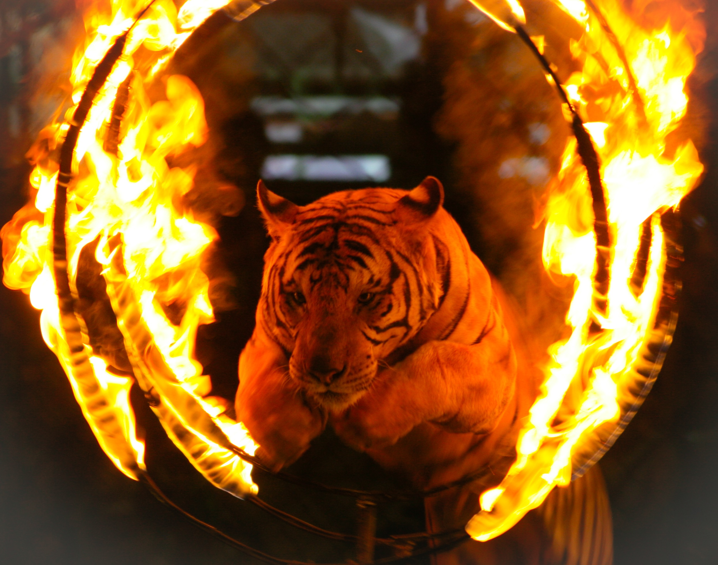 Circus Tigers Turn on Trainer, Maul Him to Death Despite Frantic