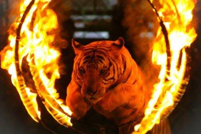 Tiger, Killed, Trainer