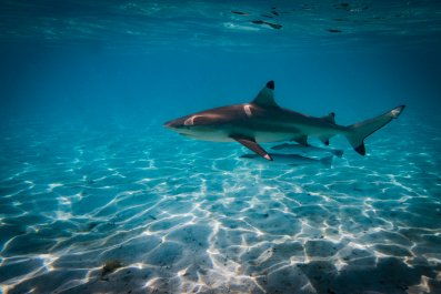 black tip, shark, sea, ocean, Bora Bora,lagoon,