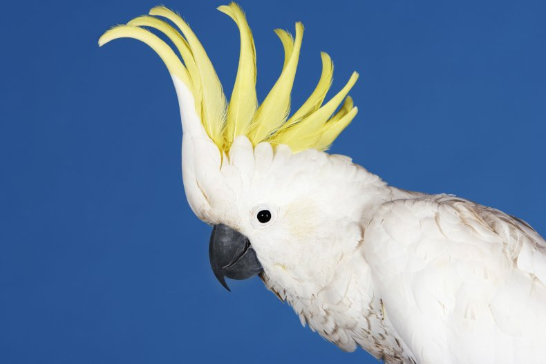 yellow crested cockatoo, sulphur crested cockatoo, getty,stock