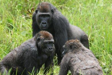 gorillas, republic of congo, socialising, cambridge