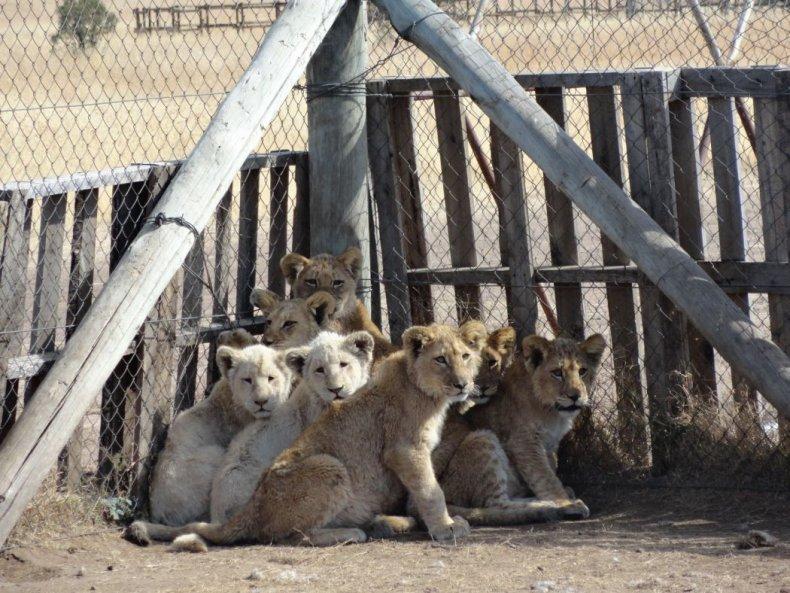 lion breeding farms