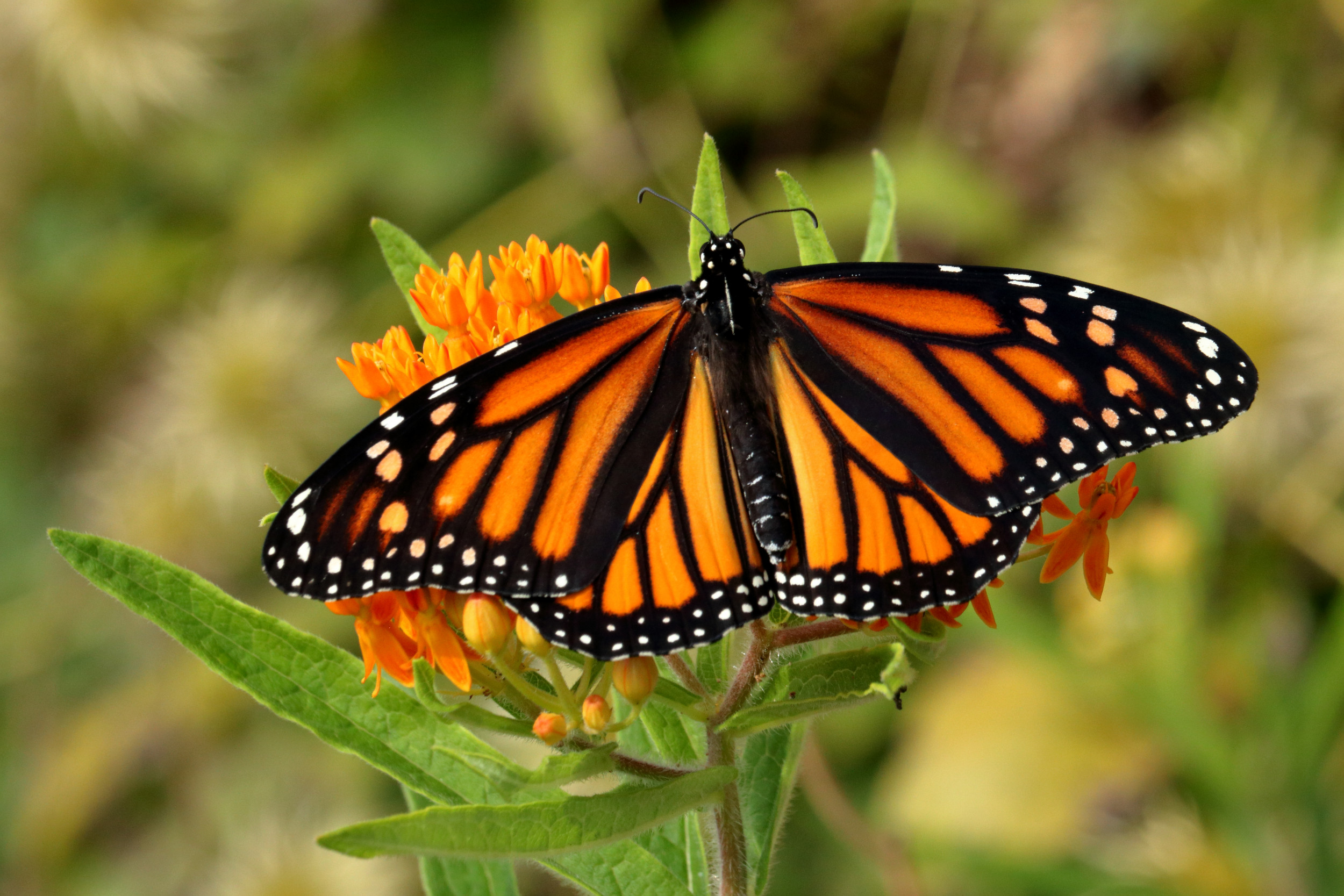 Butterfly Death: Ohio Butterflies Are Dying As Monarchs ...