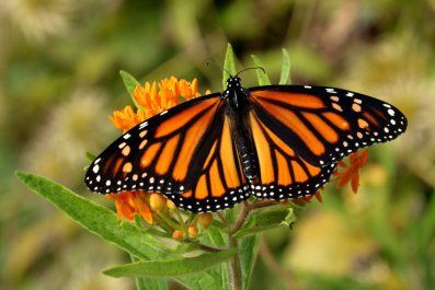 monarch butterfly, butterlfy weed flower,