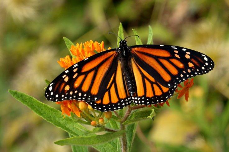 Monarch Butterfly, Buttercup Weed Flower,