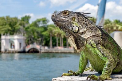 green iguana, florida, reptile, lizard, getty,
