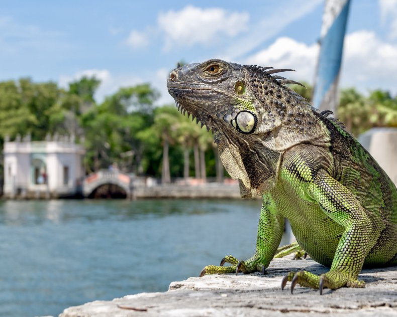green iguana, florida, reptile, lizard, getty,