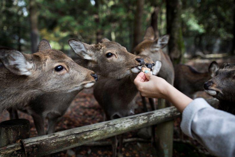 Sika deer, Nara Park
