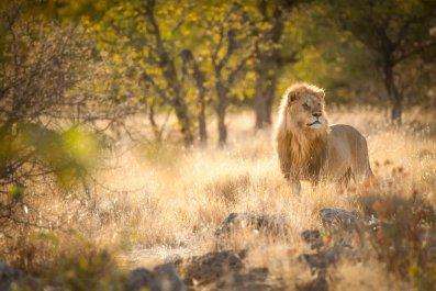 Lion, Hunting