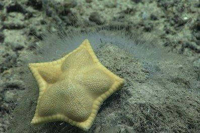 ravioli starfish
