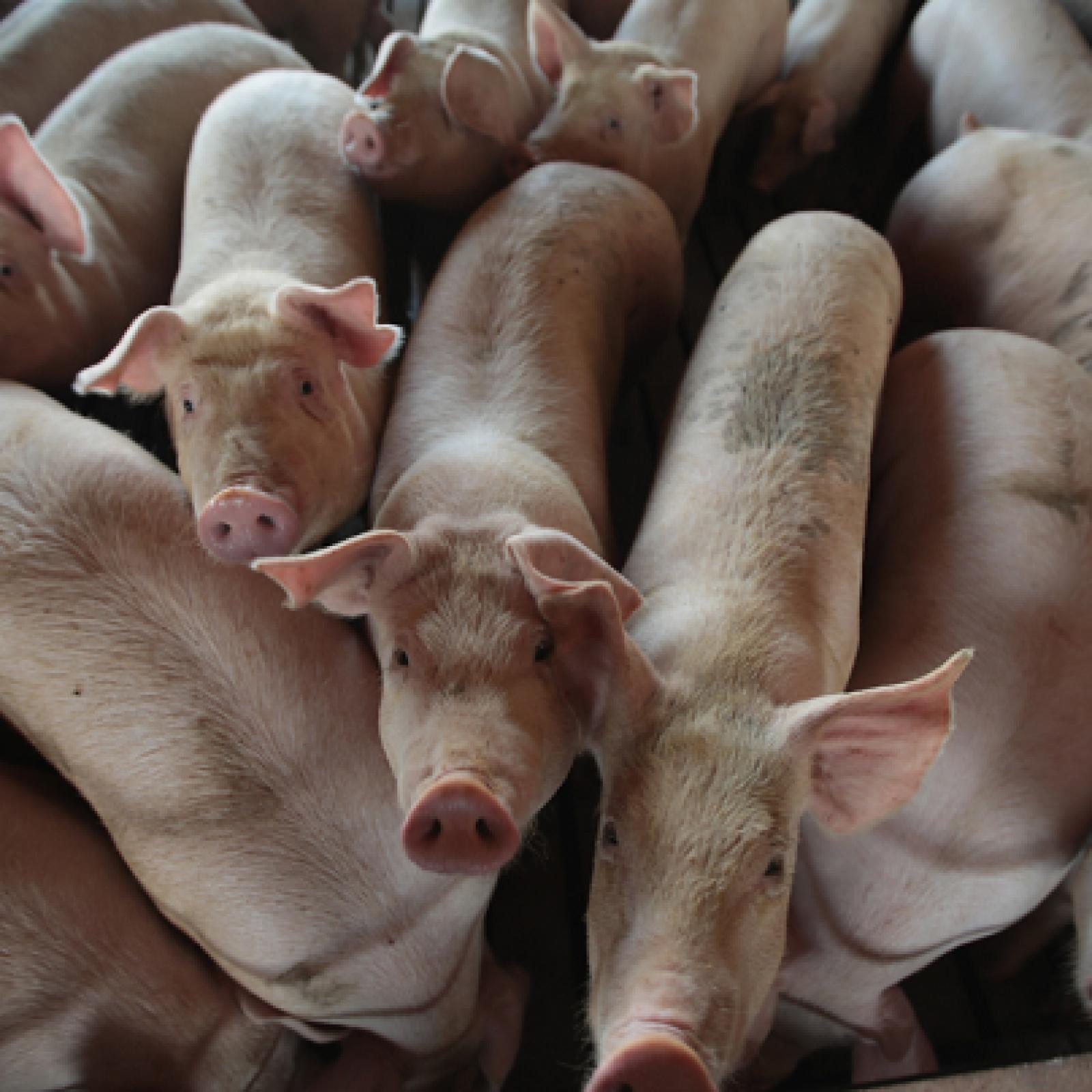 This Little Piggie Didn't Get to Market: Swine Gut Spill