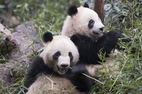 Giant panda, cubs