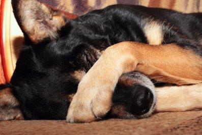 sleepy dog marijuana