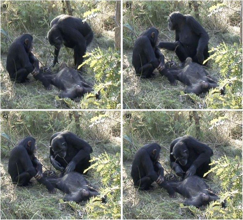 grieving chimp