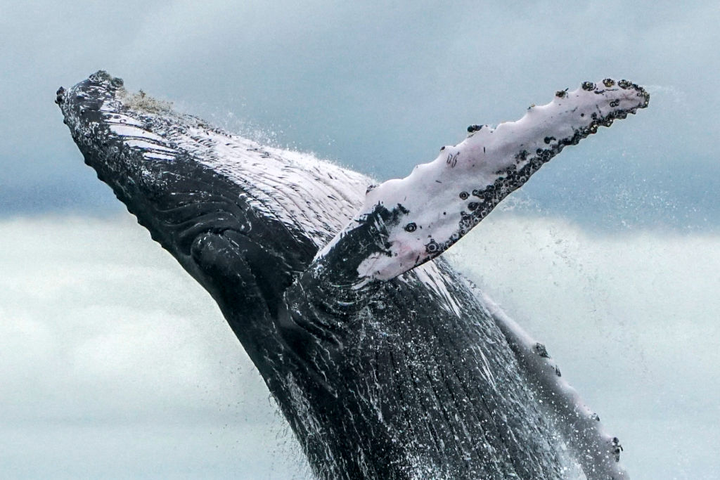 Who's still hunting whales? For the first time in 17 years, one country opts out