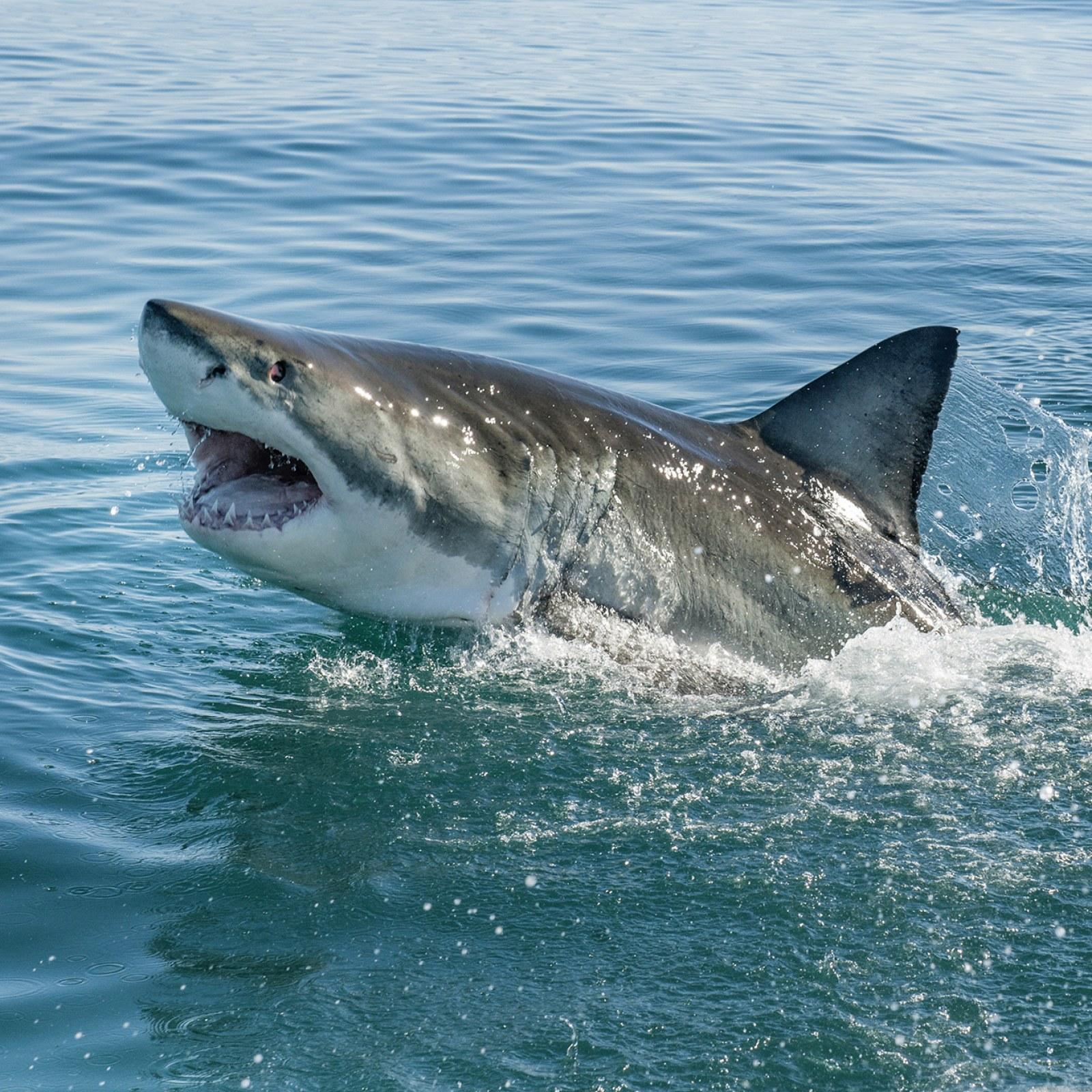 Great White Sharks Filmed Gathering in California's Monterey Bay