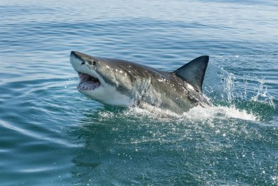 shark, great white shark, ocean, sea, stock,getty