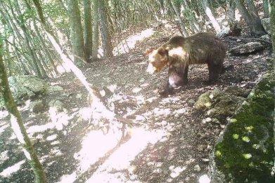 Escaped Bear, Italy