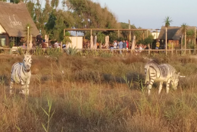 Donkeys painted like zebras