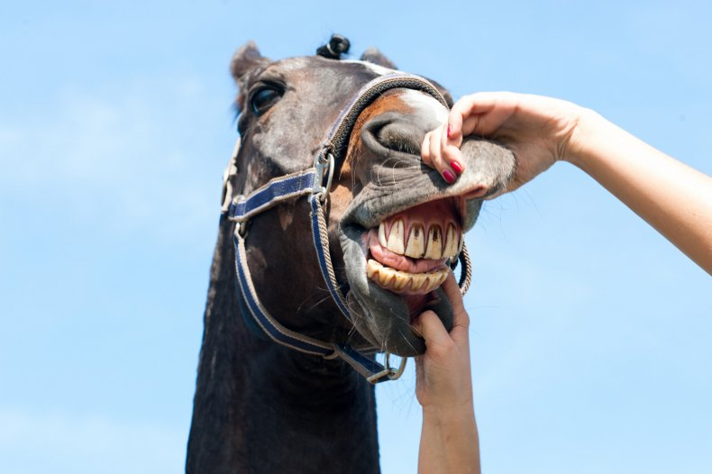 horse teeth dentist