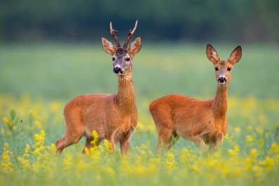 wildlife, nature, roe deer, stock getty,
