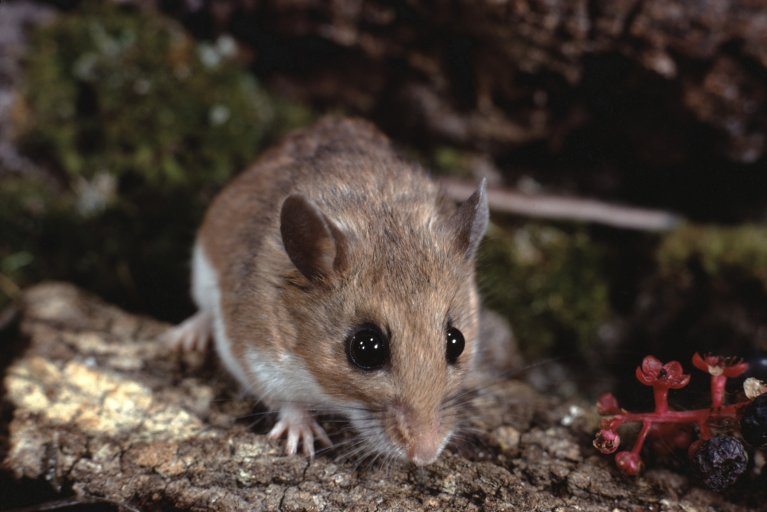 Peromyscus Leucopus, white-footed mouse, stock, getty