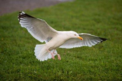 Dog, Seagull