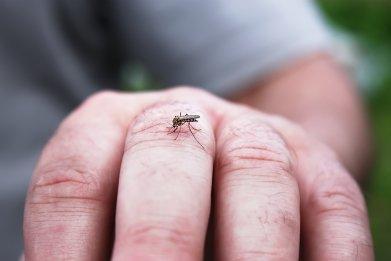 mosquito, insect, malaria, eee virus, getty, stock,