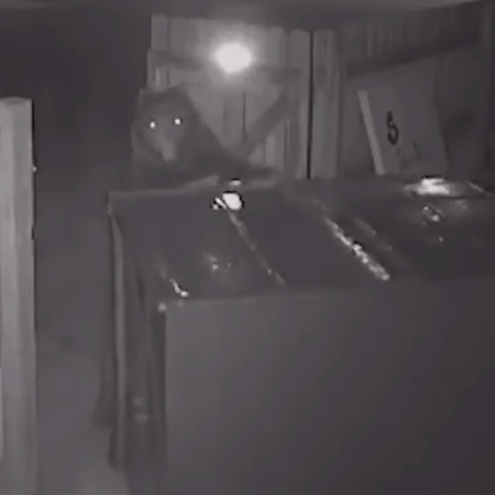 Video: Bear Steals Entire Dumpster from Cannabis Shop—'He