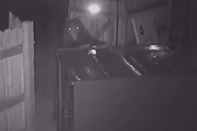 Bear Stealing Dumpster