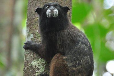 primate, black-fronted tamarin, monkey,