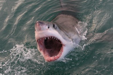 great white shark, Carcharodon carcharias, Gansbaai, South Africa, Atlantic Ocean