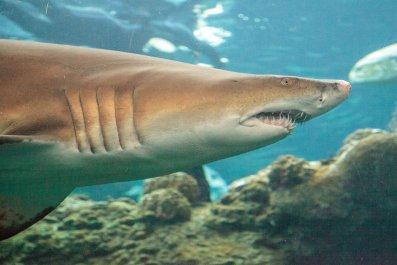 blacktip, shark, Carcharhinus limbatus, stock, getty,