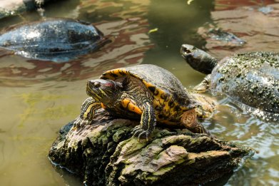 freswater turtle, animal, wildlife, stock, getty