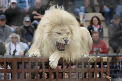 lion performance