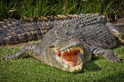 crocodile, reptile, australia, stock, getty, saltwater