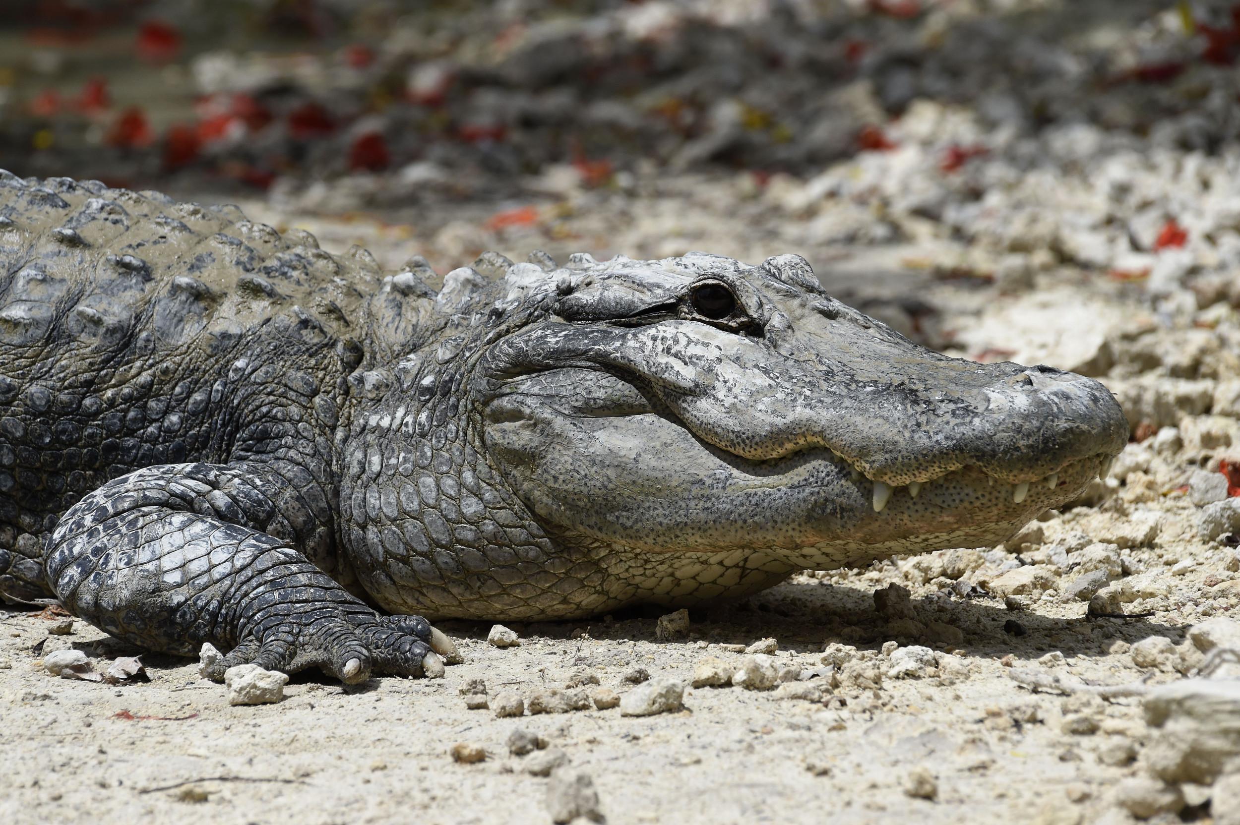 8a30acd3 Alligator Filmed Swimming in the Ocean Off Florida Beach in Rare ...
