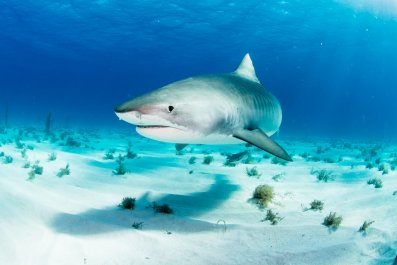 tiger shark, stock, getty,