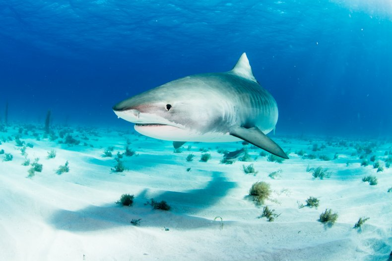 tiger shark, stock, getty,