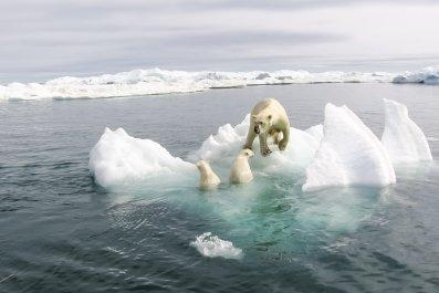 polar bears climate change stock photo