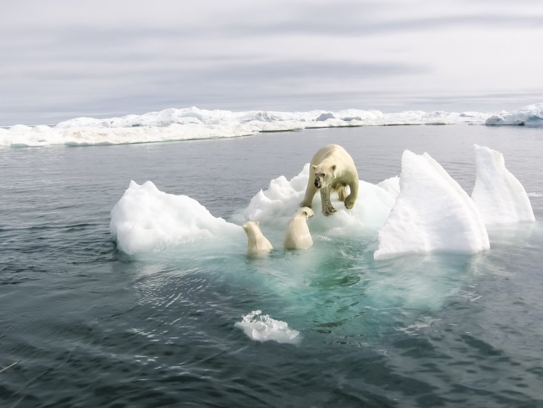 polar bears climate change stock photo