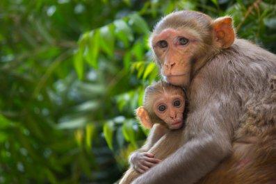 Rhesus macaque monkeys, primate, stock, getty,