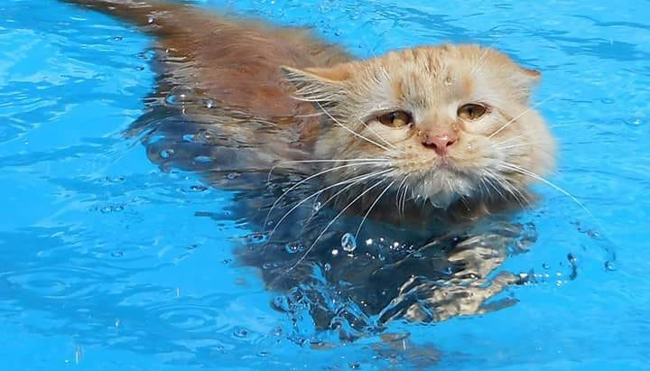 Maine Coon Cat Beats Summer Heat with a Swim in the Family Pool