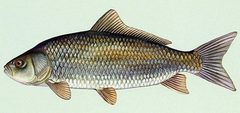 Ictiobus cyprinellus, buffalo fish, stock, getty