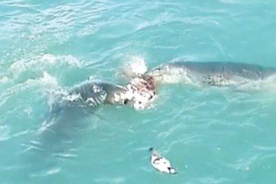 leopard seal feeding