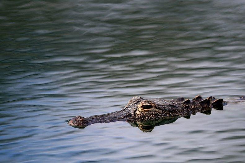 Alligator chomps dog