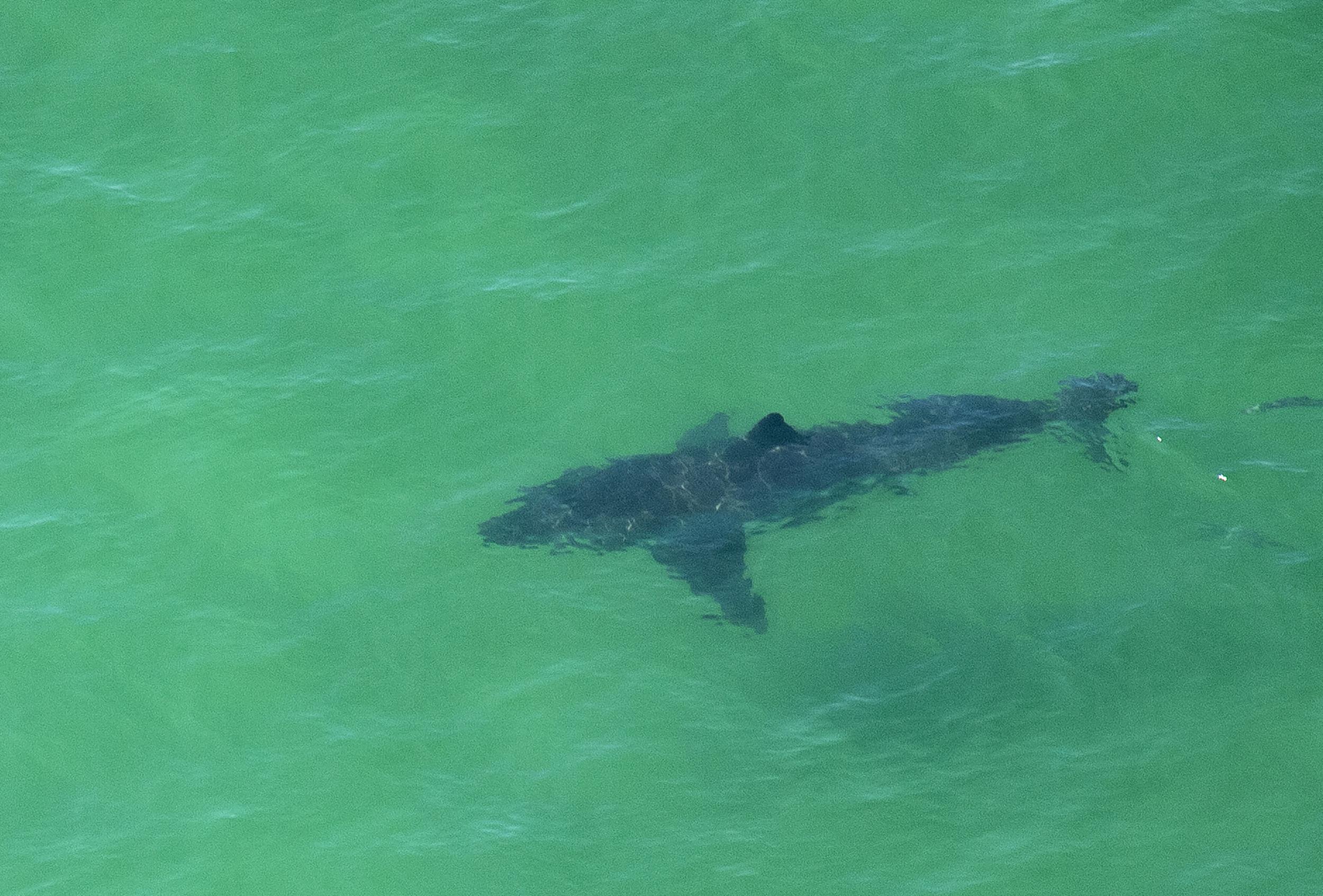 Sharks Near Myrtle Beach