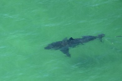 Sharks Near Myrtle Beach Captured Enjoying a Feeding Frenzy in North Carolina Waters