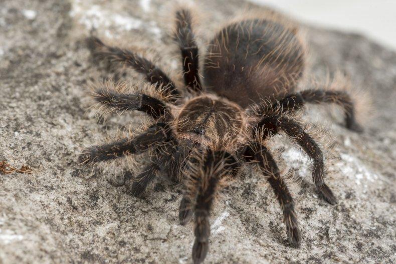 tarantula, spider, arachnid, stock, getty,