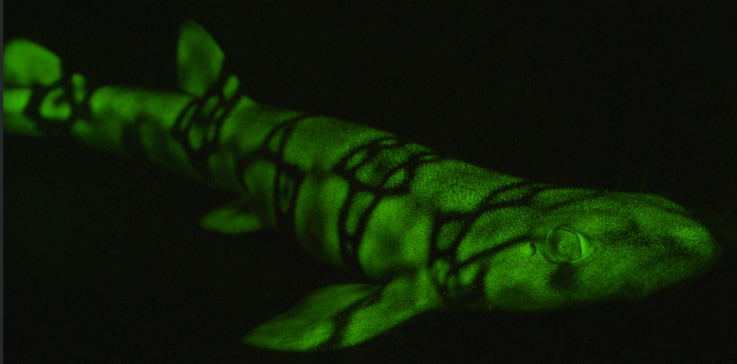 catshark, bioluminescence, shark, sea,